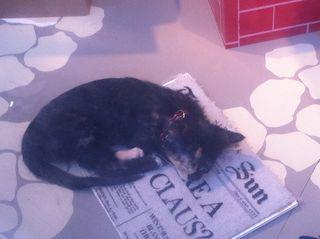 Cats for Adoption SPCA
