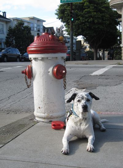 Dalmatian next to fire hydrant