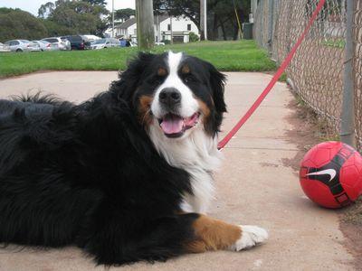 Bernese Mountain Dog - SF Presidio
