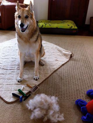 Cleo Sheds her Fur
