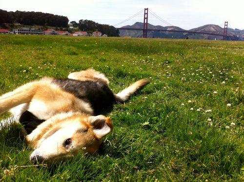 crissy-field-joyful-grouchy-puppy
