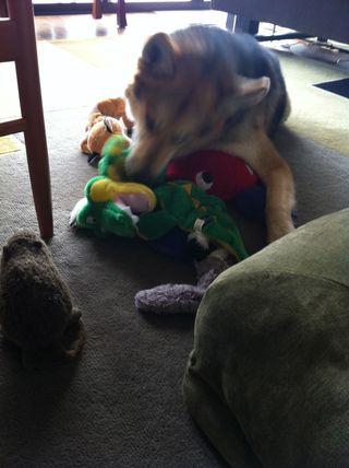 Dog-Hoarding-Toys