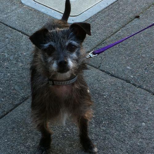 Tiny Terrier Dog Purple Leash