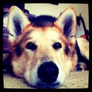 Cleo-CloseUp-Dog-Photo