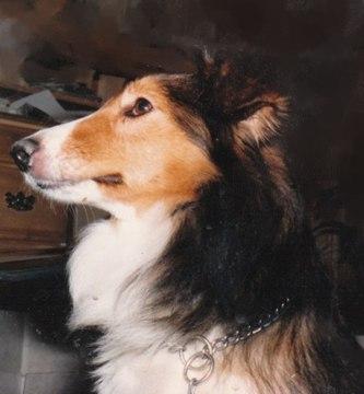 Cassie-Shetland-Sheepdog